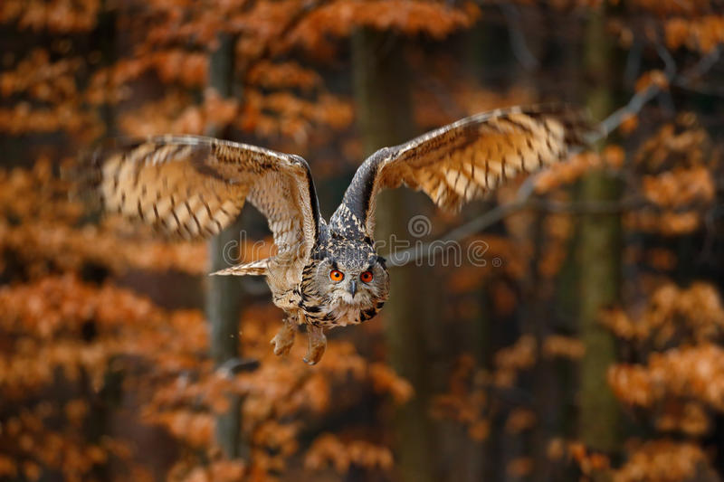 Eurasian Eagle Owl do voo, bubão do bubão, com as asas abertas no habitat da floresta, árvores alaranjadas do outono fotos de stock