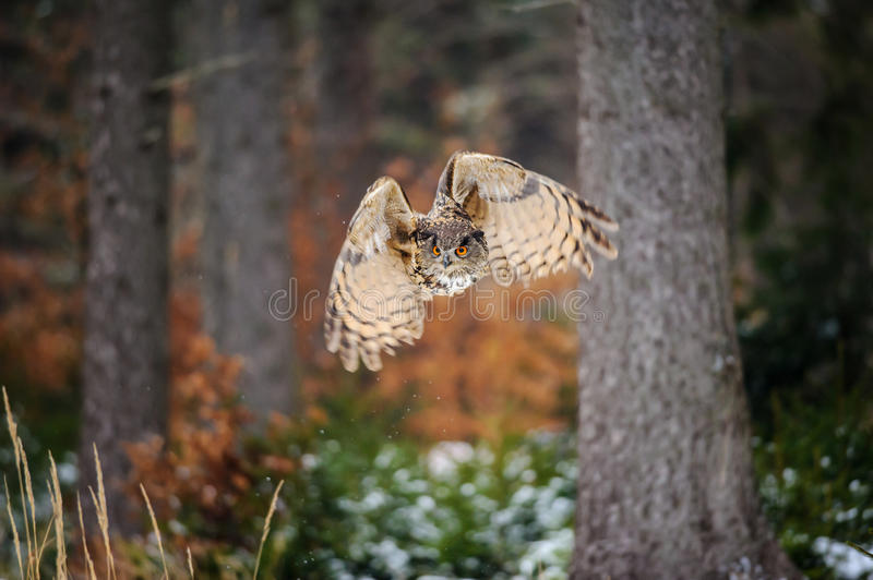 Eurasian Eagle Owl do voo na floresta do inverno foto de stock royalty free