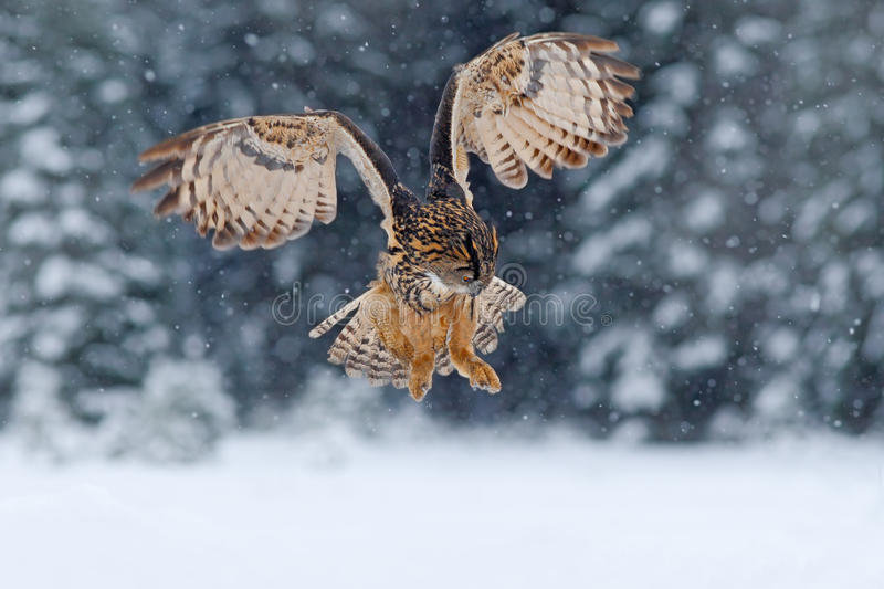 Eurasian Eagle owl, flying bird with open wings with snow flake in snowy forest during cold winter, nature habitat, France stock photography