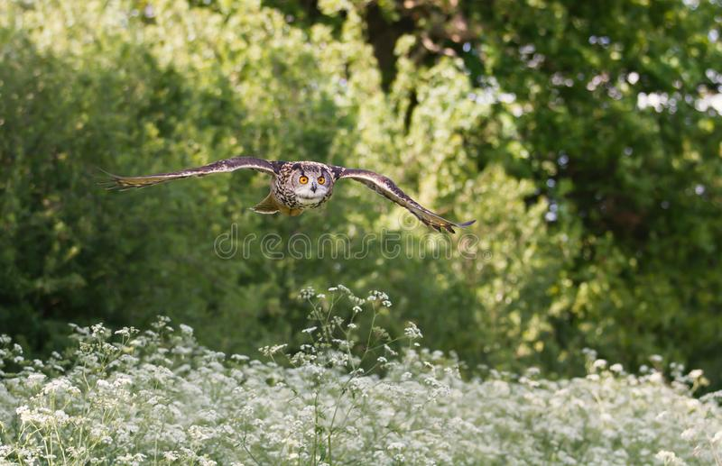 Eurasian eagle-owl flying over a field of white flowers stock image