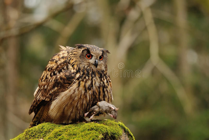 Eurasian Eagle Owl holding mouse as prey. On moss rock royalty free stock photos