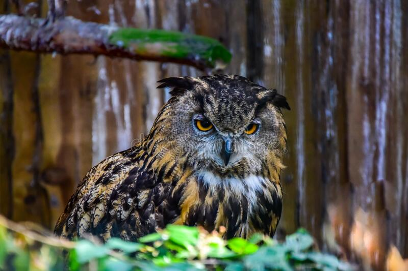 Eurasian eagle owl. A motley bird with orange eyes sits on a motley background and stares intently down stock image