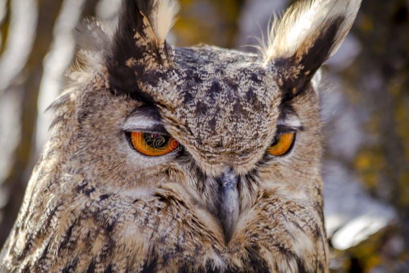 Eurasian Eagle Owl no ramo de árvore imagem de stock
