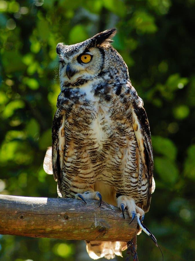Free Eurasian Eagle Owl On The Tree Stock Image - 2778111