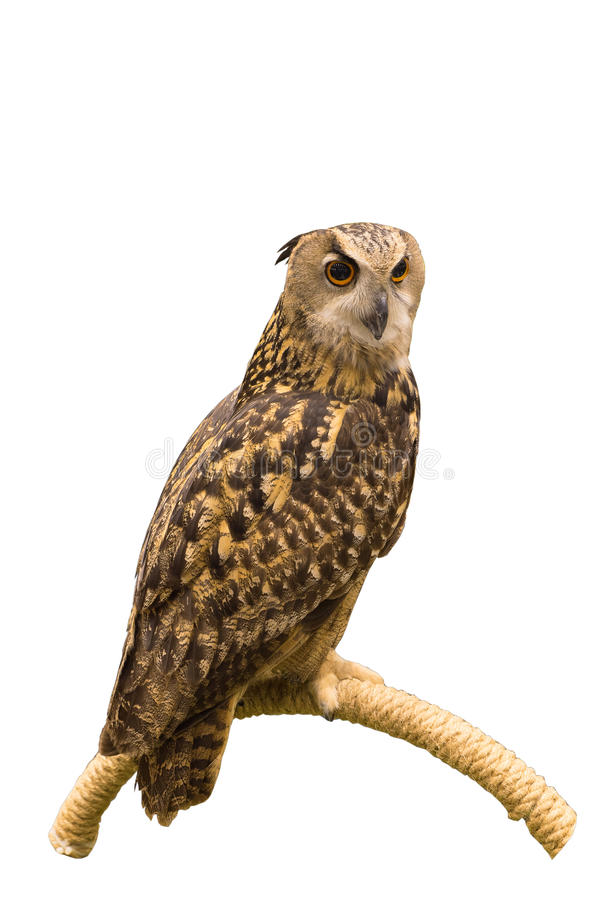 Eurasian Eagle Owl perched on a branch isolated on white background with clipping path. royalty free stock images