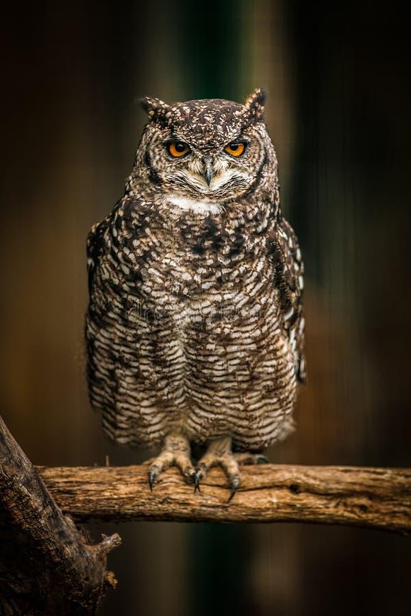 Eurasian Eagle Owl Portrait, slut upp royaltyfri foto