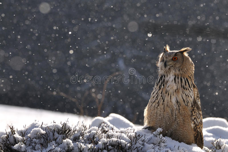 Download Eurasian Eagle Owl Sitting On Ground When Snowing Royalty Free Stock Photos - Image: 18925908