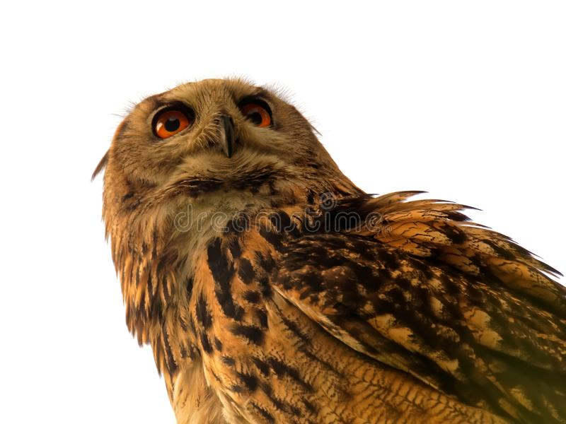 Eurasian Eagle Owl royalty free stock image