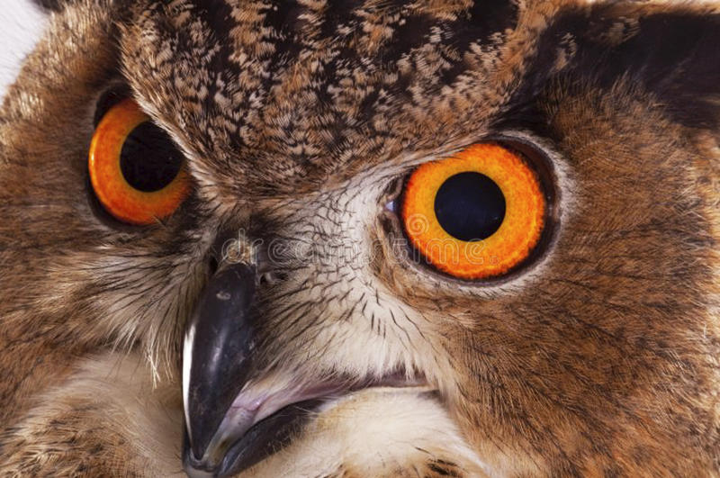 Download Eurasian Eagle owl stock image. Image of feathered, golden - 33695749