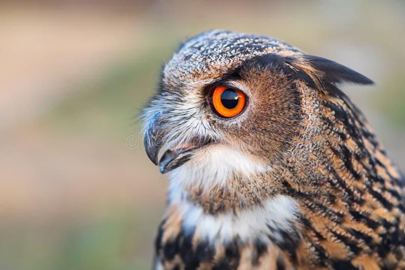 Eurasian Eagle-uggla med den öppna näbb Closeupstående av ugglaprofilen royaltyfria bilder