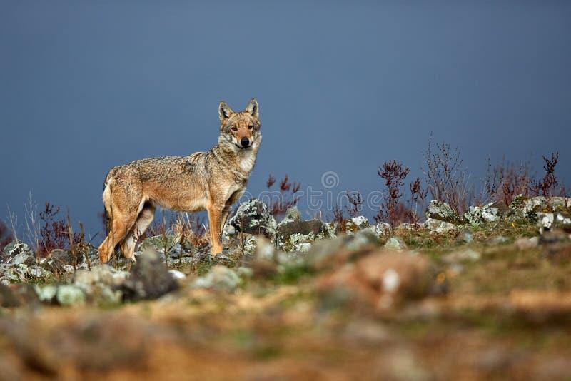 Eurasian för Canislupus för grå varg lupus, gammal alfabetiskkvinnlig i de bulgariska bergen Djurlivplats från naturen arkivbild