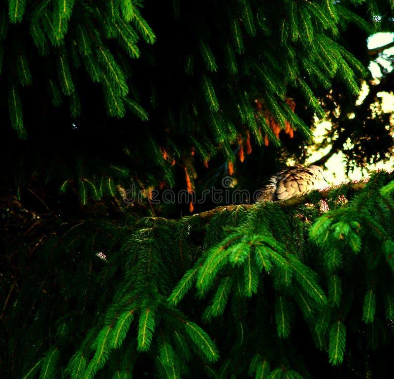 Eurasian försedd med krage duva som sitter på en trädstubbe, Streptopeliadecaocto arkivbilder