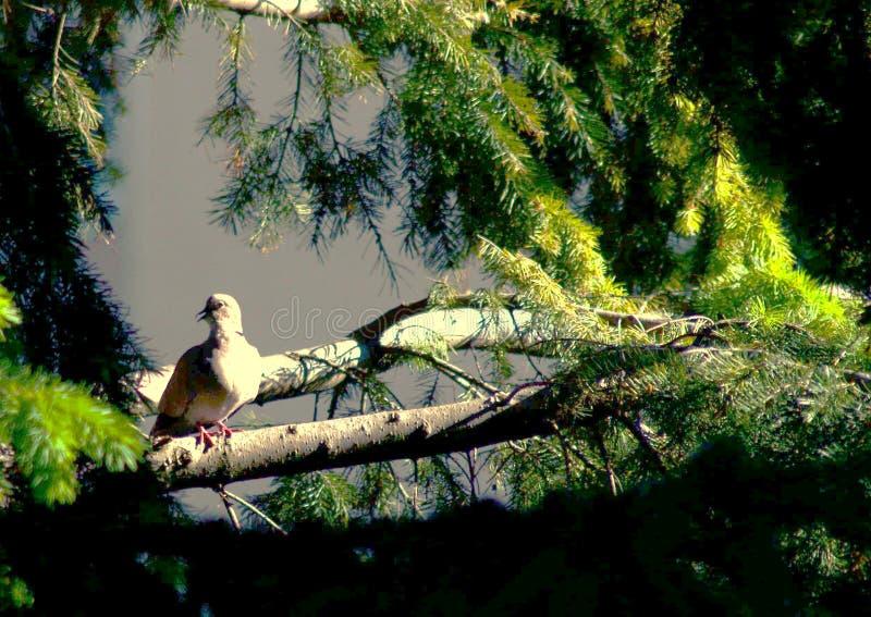 Eurasian försedd med krage duva som sitter på en trädstubbe, Streptopeliadecaocto arkivfoto