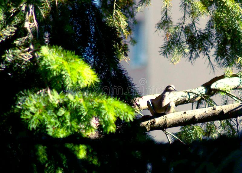 Eurasian försedd med krage duva som sitter på en trädstubbe, Streptopeliadecaocto royaltyfria foton