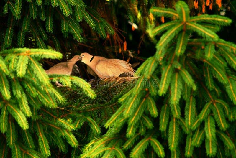 Eurasian försedd med krage duva som sitter på en trädstubbe, Streptopeliadecaocto royaltyfri fotografi