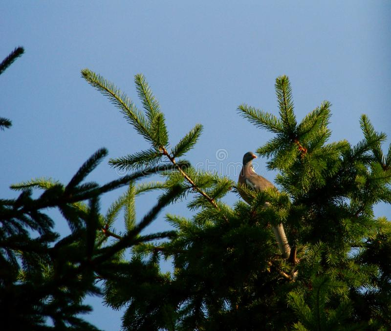 Eurasian försedd med krage duva som sitter på en trädstubbe, Streptopeliadecaocto royaltyfria bilder
