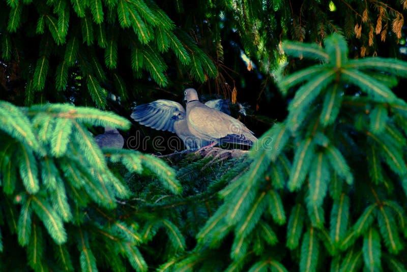 Eurasian försedd med krage duva som sitter på en trädstubbe, Streptopeliadecaocto arkivbild