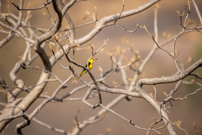 Eurasian golden oriole - Oriolus oriolus passerine bird in the oriole family clicked at keoladeo, bharatpur. This bird is found in many parts of Asia royalty free stock photos
