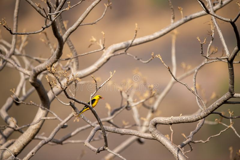 Eurasian golden oriole - Oriolus oriolus passerine bird in the oriole family clicked at keoladeo, bharatpur. This bird is found in many parts of Asia royalty free stock photography
