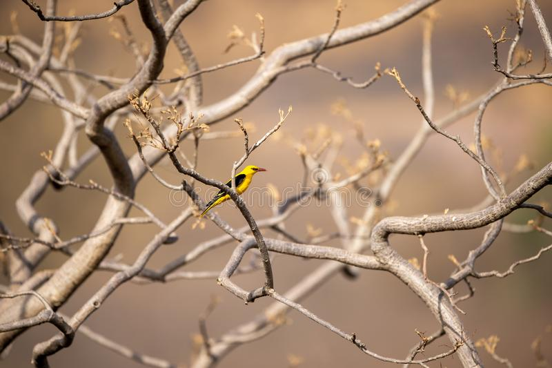 Eurasian golden oriole - Oriolus oriolus passerine bird in the oriole family clicked at keoladeo, bharatpur. This bird is found in many parts of Asia royalty free stock image