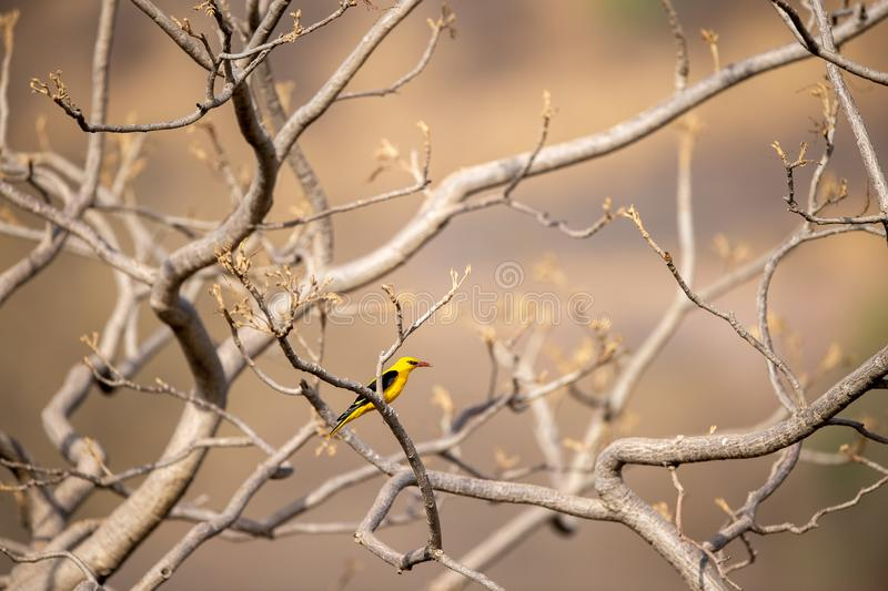 Eurasian golden oriole - Oriolus oriolus passerine bird in the oriole family clicked at keoladeo, bharatpur. This bird is found in many parts of Asia stock photography