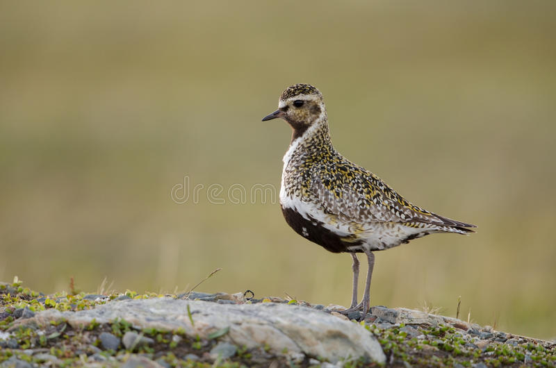 Download Eurasian golden plover stock photo. Image of golden, apricaria - 26998212