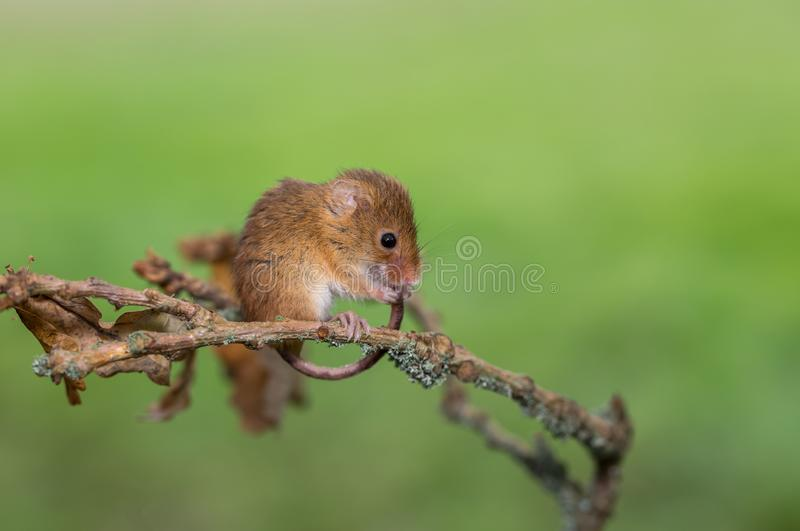 An Eurasian harvest mouse grooming its tail royalty free stock photo
