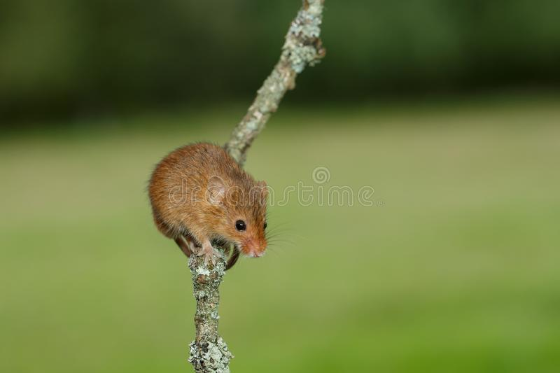 An Eurasian harvest mouse on a twig royalty free stock photos