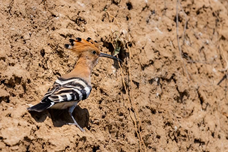 Eurasian Hoopoe or Common Hoopoe or Upupa epops the beautiful brown bird with spiky hair, beautiful crested bird. Nature, wildlife, green, animal, background royalty free stock photography