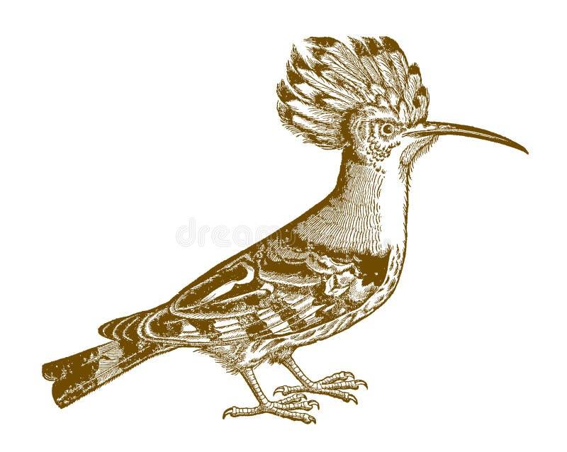 Eurasian hoopoe upupa epops in side view vector illustration
