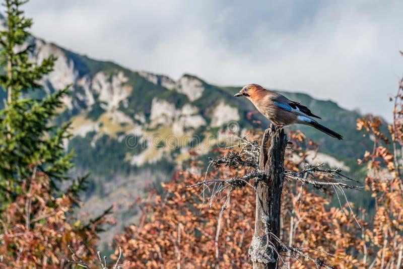 Eurasian jay отдыхая на мертвом дереве в горах Tatra, Польше стоковое изображение rf