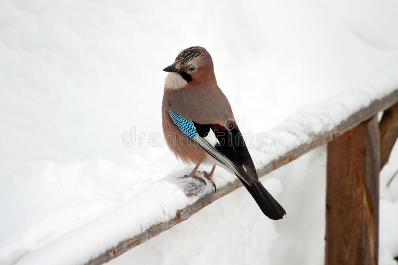 Download Eurasian Jay stock image. Image of outdoors, wing, animal - 23687789
