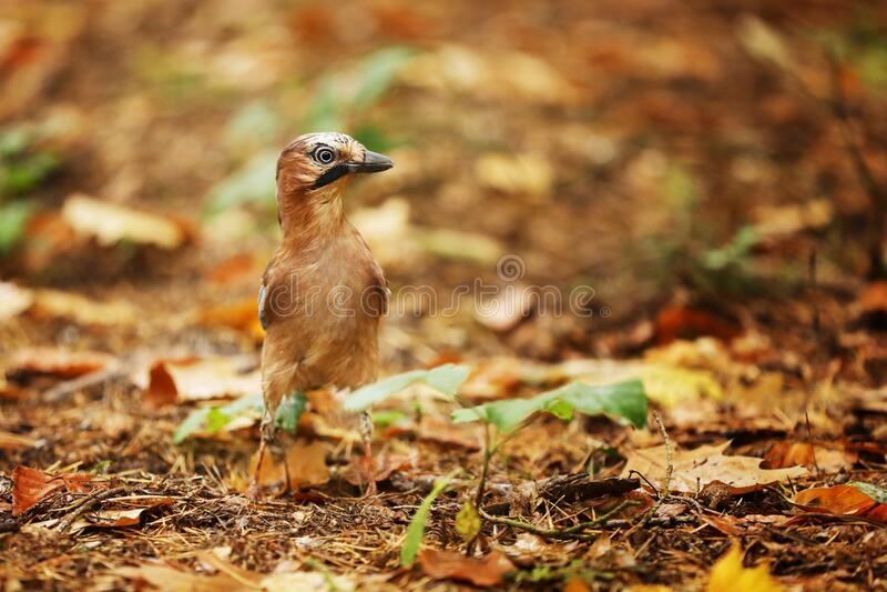 Jay - Garrulus glandarius - stay in forest in autumn stock photography