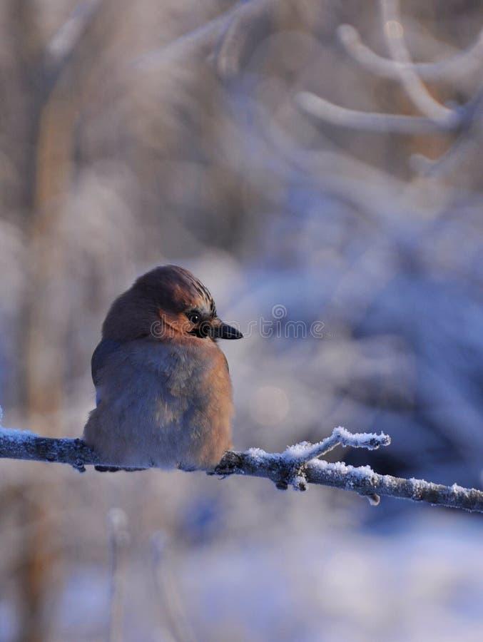 Eurasian jay during Christmas time. Eurasian jay garrulus glandarius bask in the morning sun on a wintry branch