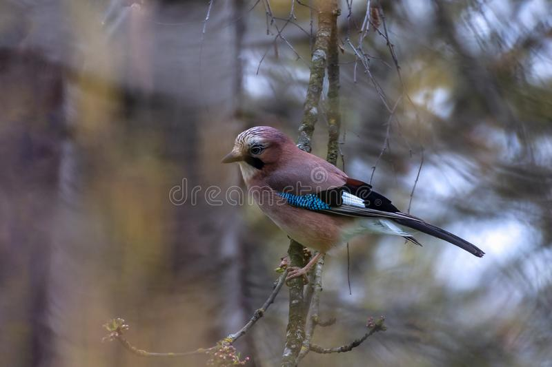 Eurasian Jay in the early spring. Eurasian Jay perched in the branches at the beginning of a chilly spring