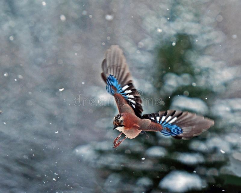 Eurasian jay, Garrulus glandarius flying in falling snow. With snow-covered fir tree in the background somewhere in Sweden stock images