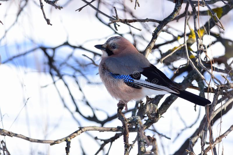 Eurasian jay sits in the branches of a wild apple tree against the background of snow. Eurasian jay Garrulus glandarius sits in the branches of a wild apple royalty free stock images