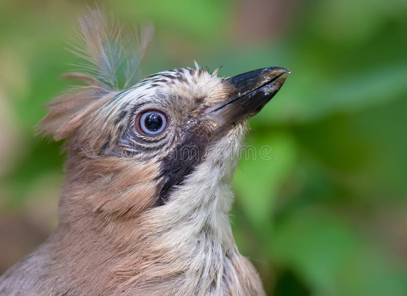 Eurasian Jay head only close shot with puffy plumage royalty free stock photo