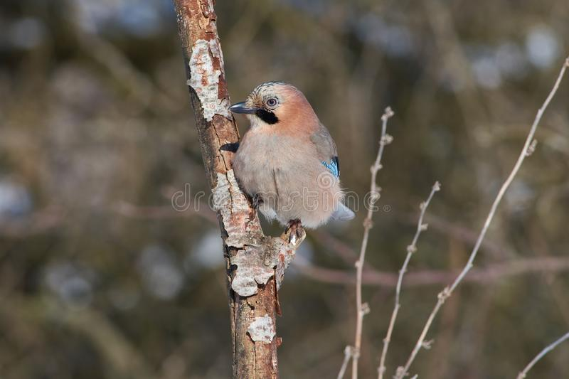 Eurasian jay sits on a branch in the forest in a natural habitat royalty free stock image