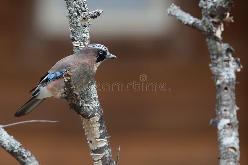Download Eurasian jay stock image. Image of wild, profile, blue - 31054233