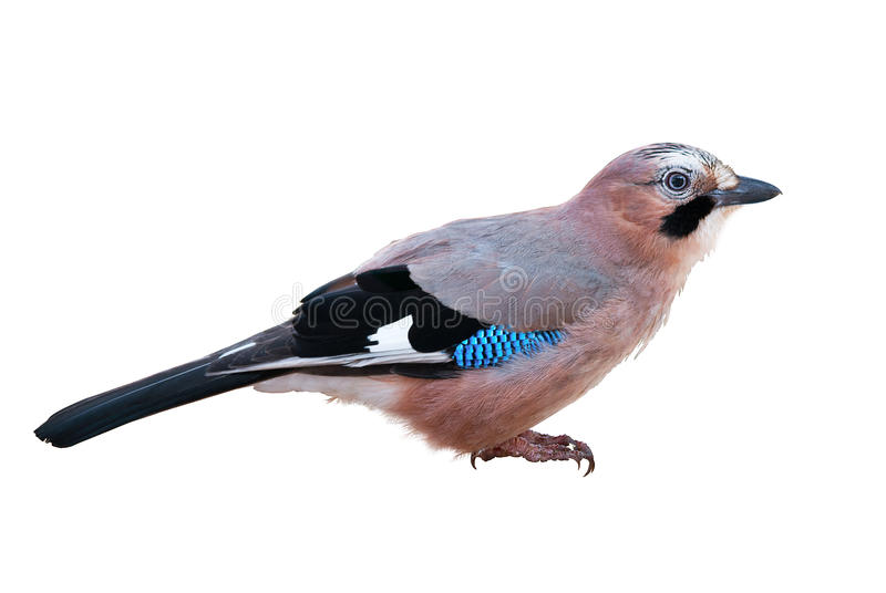 Eurasian Jay On White fotografia de stock royalty free