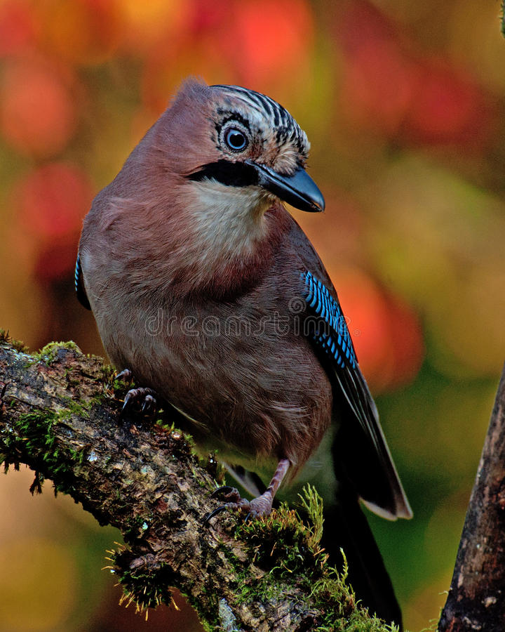 Free Eurasian Jay With The Autumn Colors Around It Stock Image - 59527341