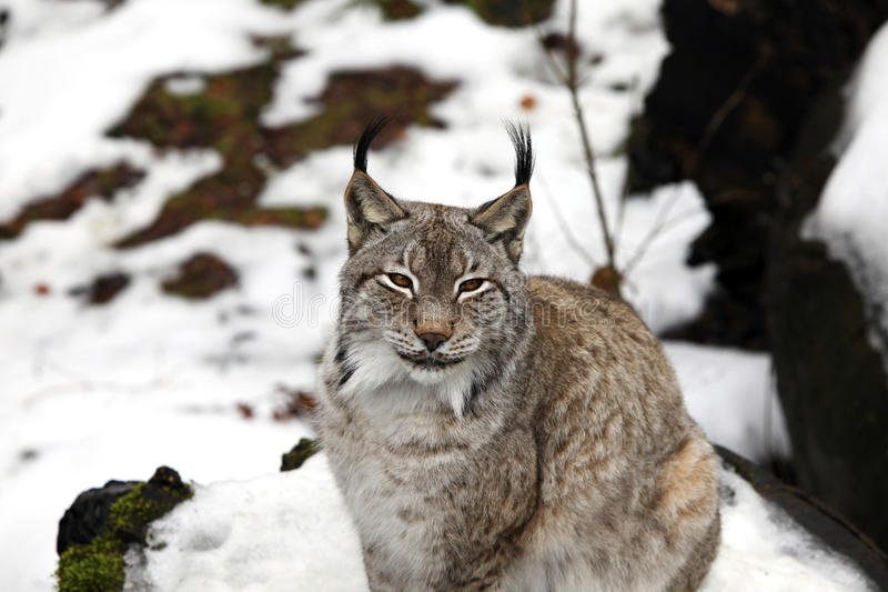 Eurasian Lynx. The Eurasian lynx ranges from central and northern Europe across Asia stock photos