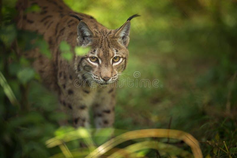 Eurasian Lynx Lynx lynx. In forest royalty free stock photo