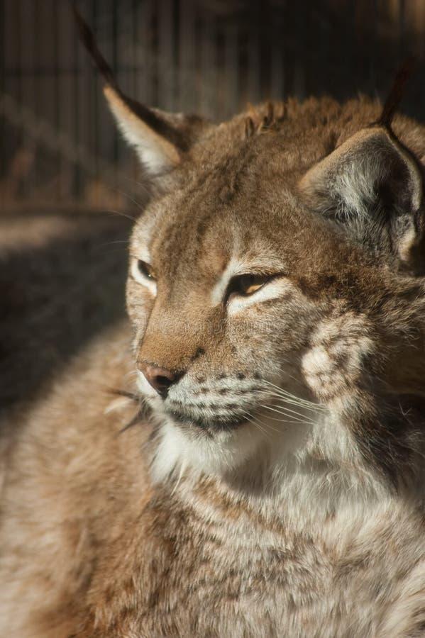 Download Eurasian lynx stock image. Image of wildlife, head, russia - 13180599