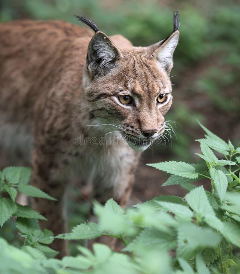 Eurasian Lynx. Close-up portrait of an Eurasian Lynx (Lynx lynx royalty free stock photography
