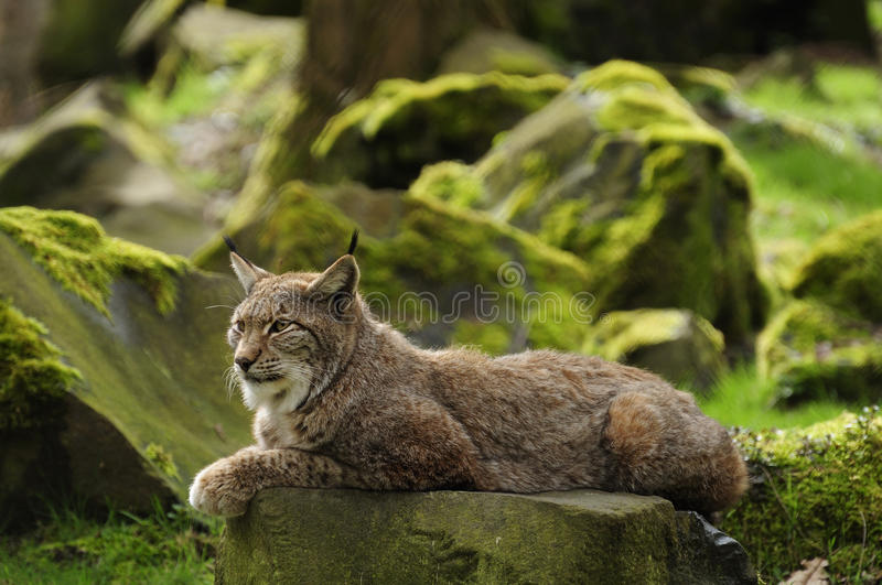 Eurasian Lynx. The Eurasian lynx is a medium-sized cat who lives in the European and Siberian forests. Sadly it `s nearly impossible to find this predator royalty free stock photography