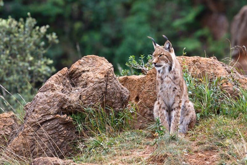 Eurasian lynx. In a wild life park stock images