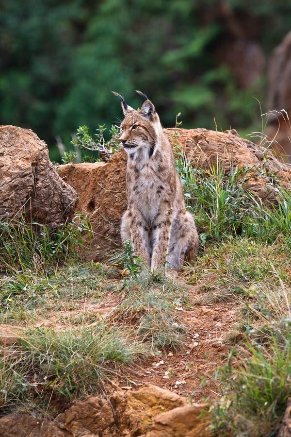 Eurasian lynx. In a wild life park stock photography