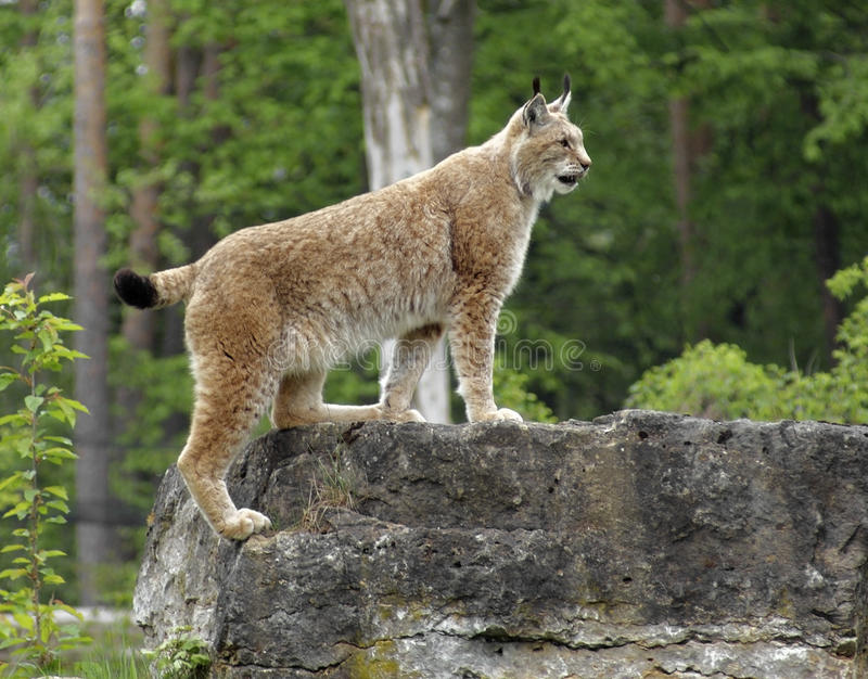 Eurasian Lynx. Sideways shot of a Eurasian Lynx standing on rock formation in front of forest back royalty free stock photo